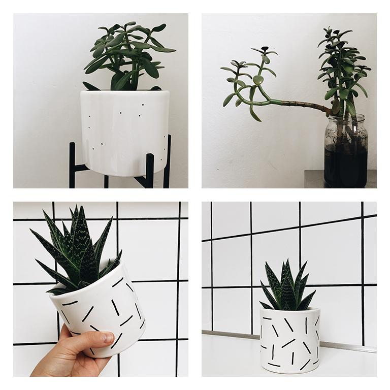 Drzewko szczecia, Aloes